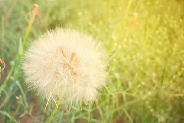 Testa di semi di tarassaco grande primo piano di fiore tarabuffino soffice bianco su sfondo verde erba