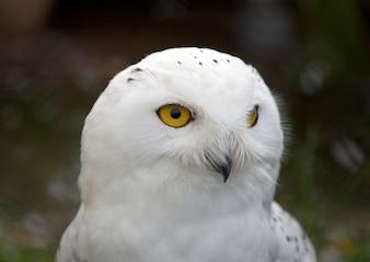 Testa di White Snowy Owl