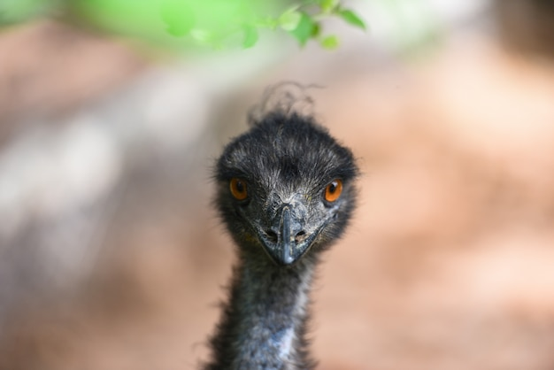 Testa e occhio dell'emù - dromaius novaehollandiae