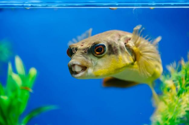 Tetraodon lineatus galleggia nel primo piano dell'acquario. pesce predatore dentato giallo.