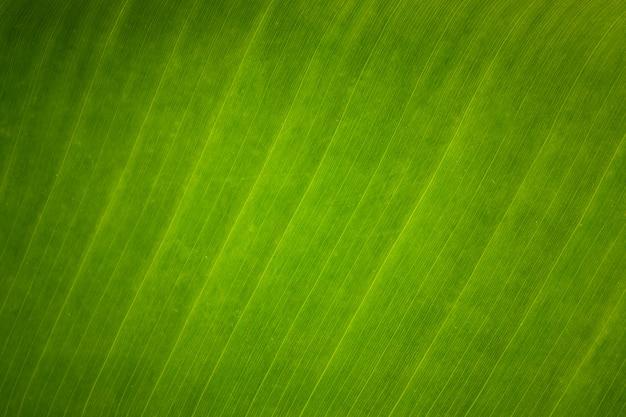 Texture di sfondo di foglia di banana fresca verde
