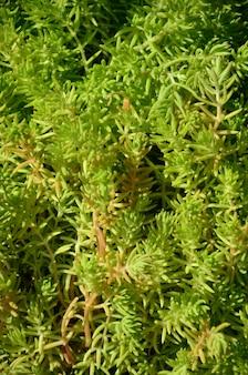 Texture di un cespuglio di una pianta verde, simile alle alghe subacquee