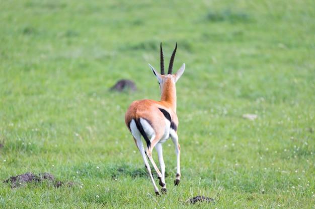 Thomson gazelle nella savana keniota in mezzo a un paesaggio erboso