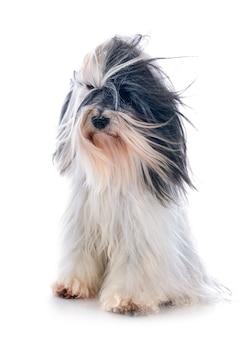 Tibetano terrier