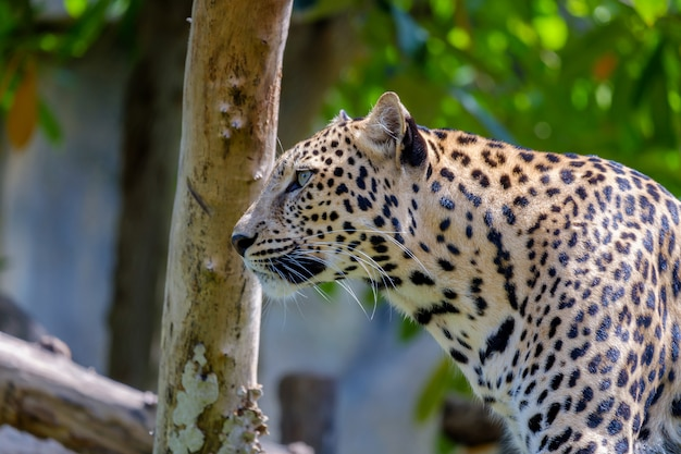 Tiger jaguar vista seria