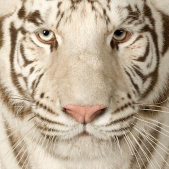 Tigre bianca (3 anni) di fronte su un bianco isolato