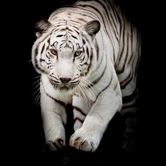 Tigre bianca saltando isolato su sfondo nero