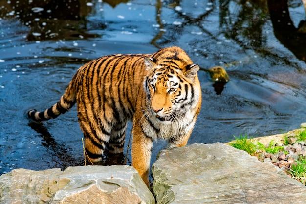 Tigre che cammina nell'acqua