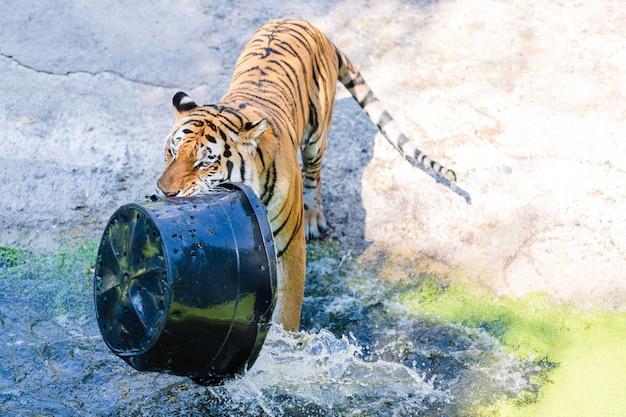 Tigre che gioca con il bacino di plastica in piscina