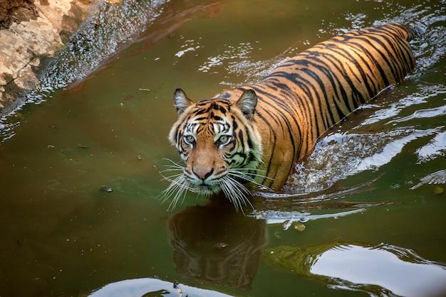 Tigre che nuota nel fiume
