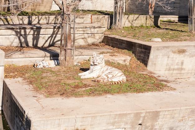 Tigre del bengala bianca