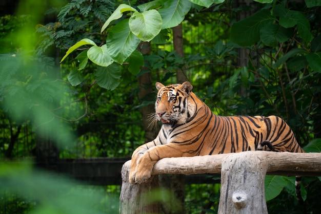 Tigre del bengala che si trova giù