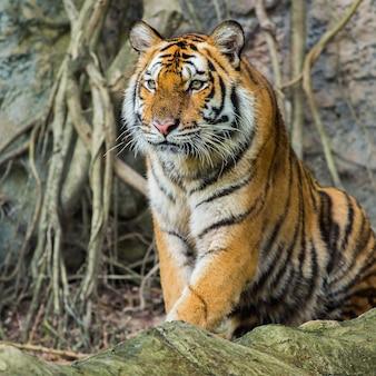 Tigre del bengala in tailandia
