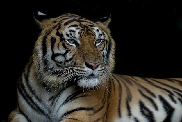 Tigre di bengala del primo piano e fondo nero