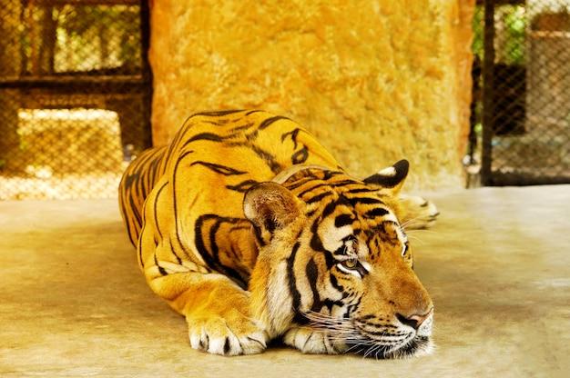 Tigre in strada