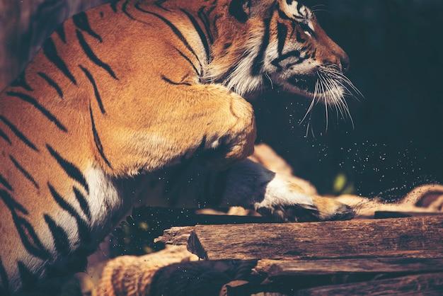 Tigre nel giardino zoologico, azione della tigre e manifestazione in zoo
