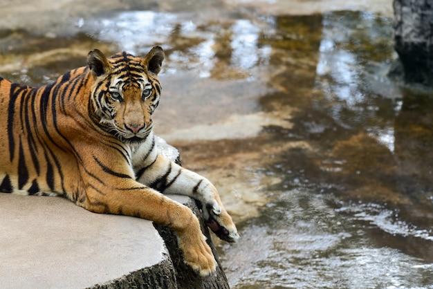 Tigre nel giardino zoologico