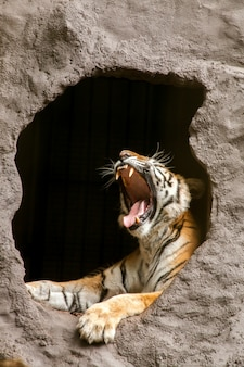 Tigre reale del bengala - panthera tigris tigris