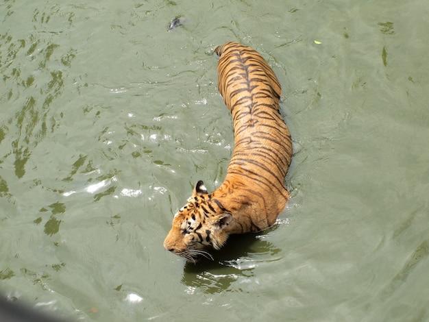 Tigre reale del bengala