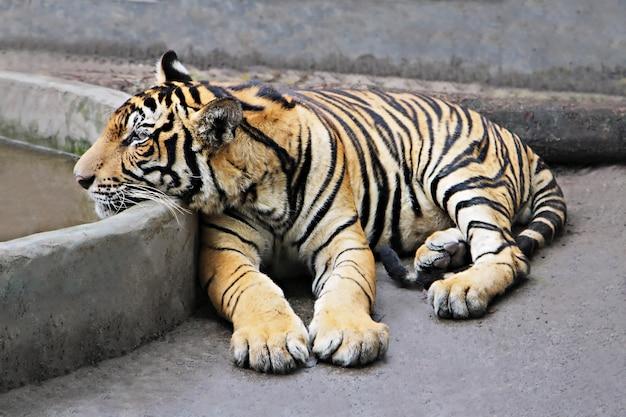 Tigre seduta