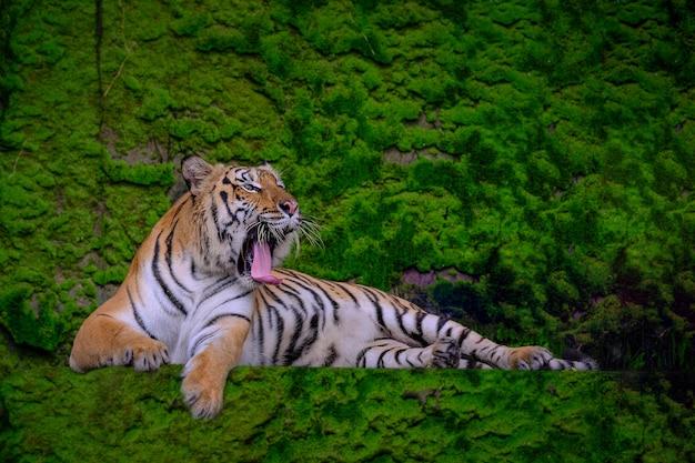 Tigre verde bella della tigre del bengala nella natura di manifestazione della foresta.