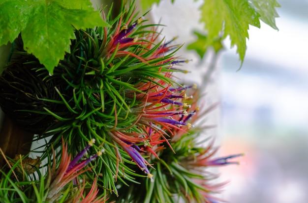 Tillandsia o pianta aerea che cresce senza terreno attaccato al legno con i suoi fiori colorati.