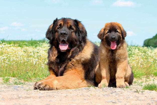 Tipico cane leonberger