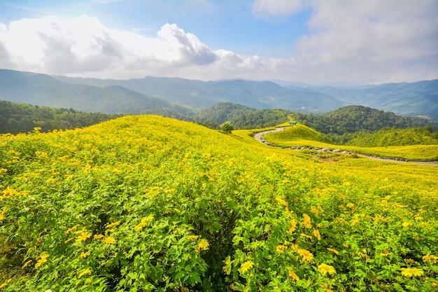 Tithonia diversifolia, girasole messicano, giacimento di fiori giallo in mae hong son, tailandia del nord.