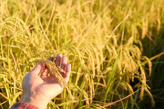 Tocca a mano le orecchie in fattoria, il riso si asciuga nel campo, copia spazio