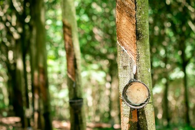 Toccando linfa dall'albero della gomma