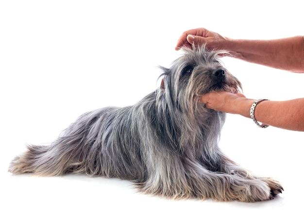 Toelettatura del cane pastore dei pirenei