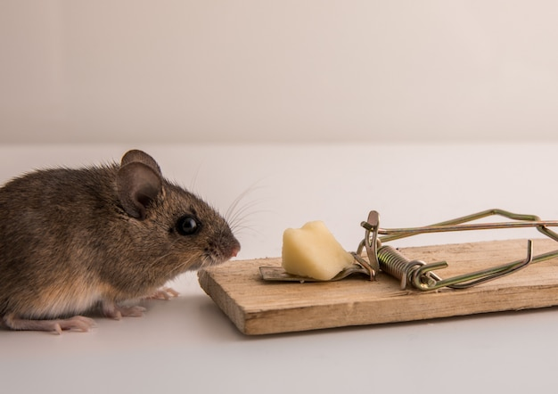 Topo di legno, apodemus sylvaticus, fiutando l'esca di formaggio su una trappola per topi