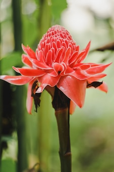 Torch ginger è una pianta biennale che ha bellissimi fiori. c'è una crescente popolarità come fiori recisi in vendita.