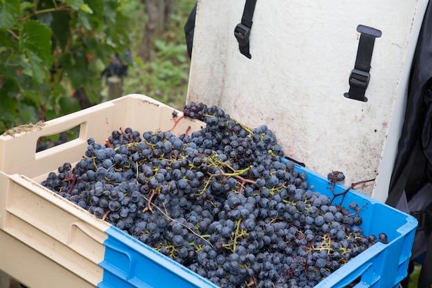 Torna enologo con cesto pieno di uve da vino appena raccolte