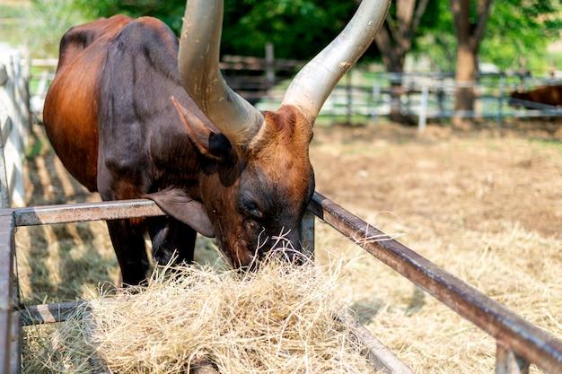 Toro di watusi del primo piano (re della mucca) che mangia erba