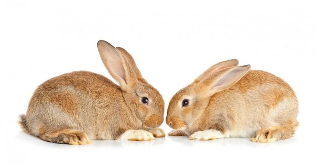 Tow simpatici conigli seduti
