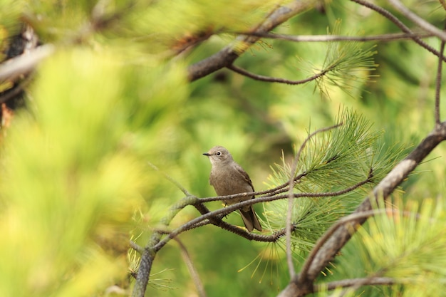 Townsend's solitaire bird in trees
