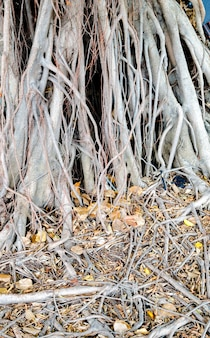 Trama di banyan, sfondo di natura