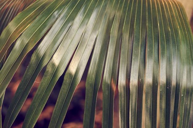 Trama di foglia di palma tropicale, sfondo naturale.