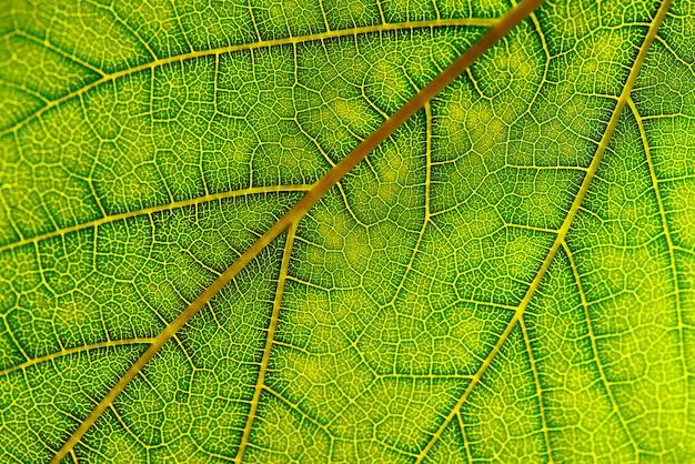 Trama di sfondo della foglia verde. macrofotografia della foglia verde.