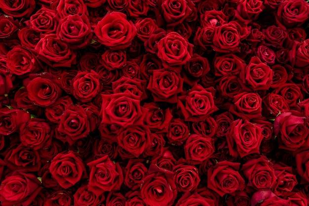 Trama di sfondo di rose rosse in fiore. la rosa rossa significa amore e romantico