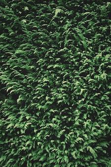 Trama di sfondo verde abete. carta da parati sullo sfondo della natura