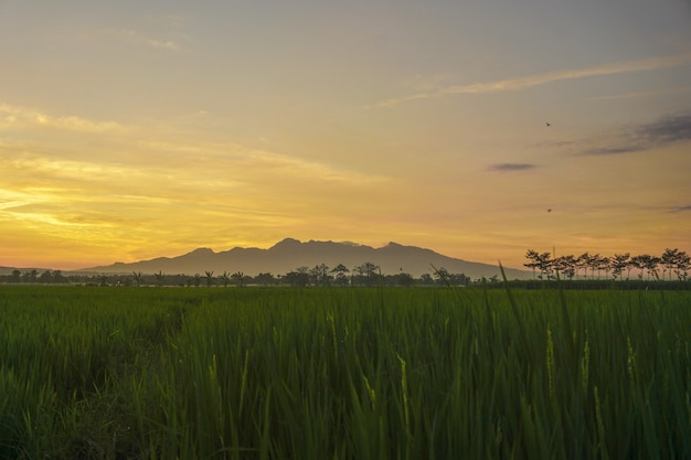 Tramonto nel campo verde del riso