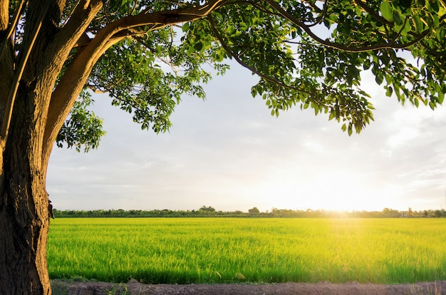 Tramonto sopra le risaie