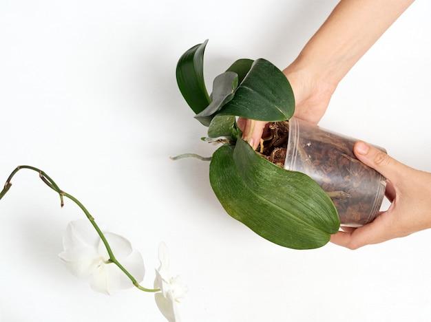 Trapiantare l'orchidea halaenopsis isolata