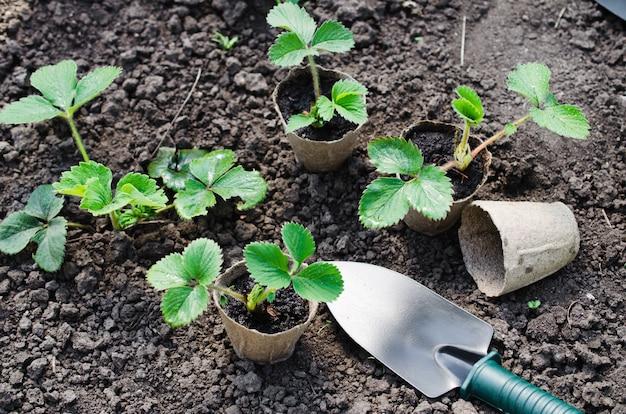 Trapiantare le piante di fragola.