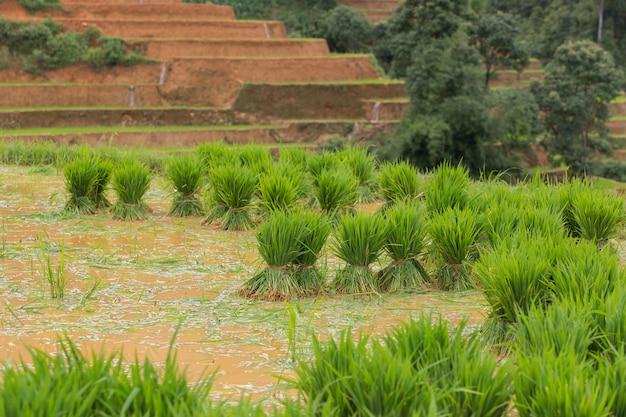Trapianto di riso