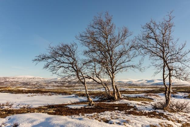 Tre alberi di betulla della montagna con le montagne di inverno in dovre, norvegia.