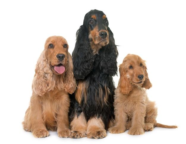 Tre cani cocker spaniel