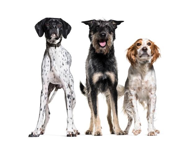Tre cani in fila; cane di britanny, cane di razza mista e puntatore tedesco, isolati